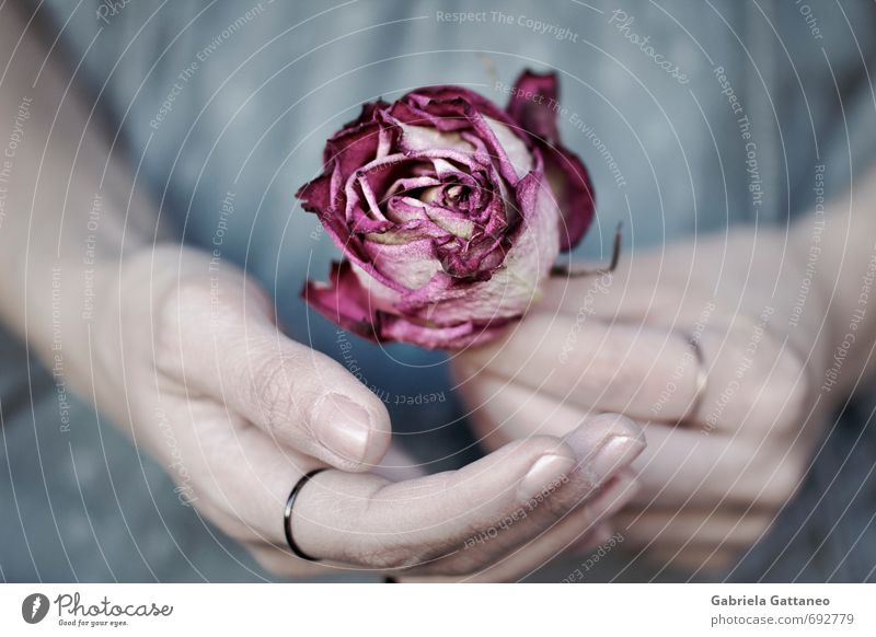 fragile Hand Fingers Blue Pink Rose Withered Shriveled Beautiful Sensitive Colour photo Exterior shot Shallow depth of field