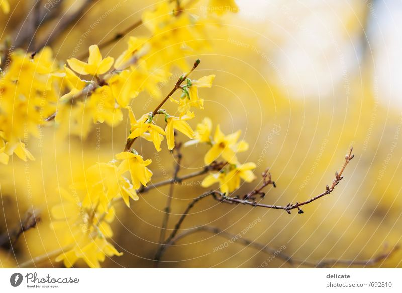 forsythia Nature Spring Plant Bushes Blossom Forsythia blossom Branch Twig Twigs and branches Observe Blossoming Discover Esthetic Fragrance Beautiful Brown