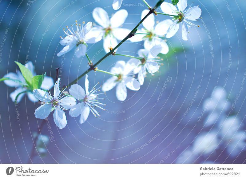 Blumenmeer das vierte Nature Blue Beautiful White Flower Blossoming Violet Fruit trees