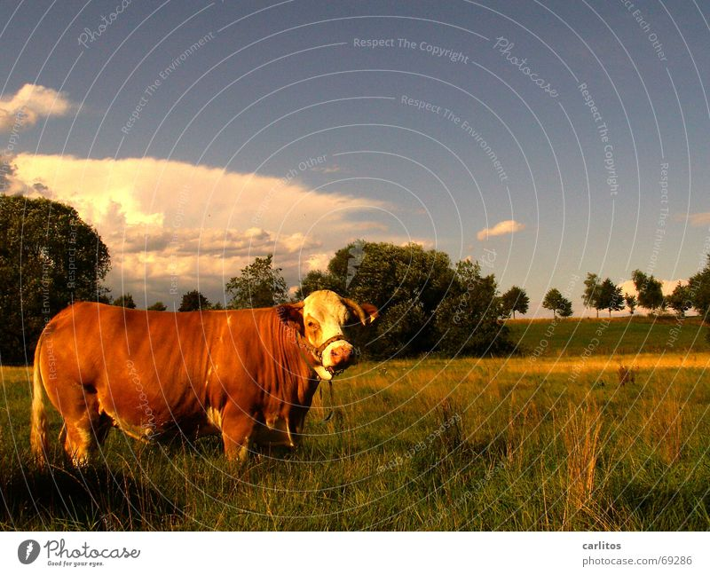 Animal Meadow Landscape Brown Cow Antlers Climate change Milk quota