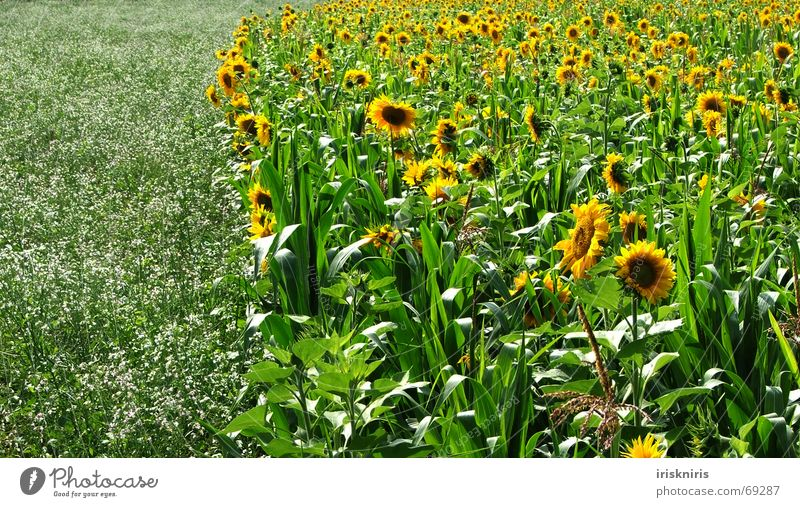 Nature Beautiful Green Plant Summer Yellow Meadow Blossom Warmth Field Infinity Bee Fragrance Flower meadow Sunflower Well-being