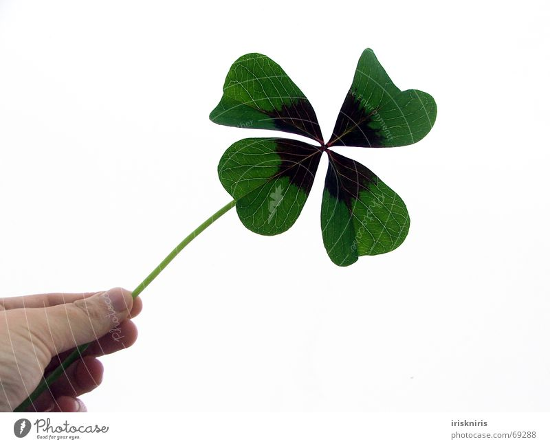 Hold on to happiness Ornamental clover Four-leaved Wishful thinking Good luck charm Clover Green Desire Hand Plant Symbols and metaphors Happy Congratulations