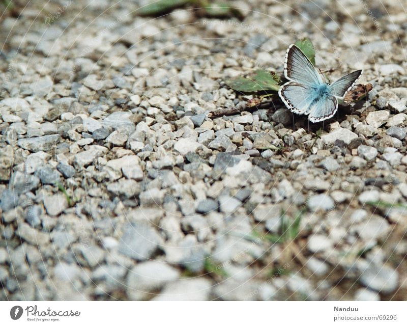 Nature Beautiful Freedom Stone Sit Cute Delicate Butterfly Gravel Copy Space Delicate Diminutive Slate blue Polyommatinae Common blue