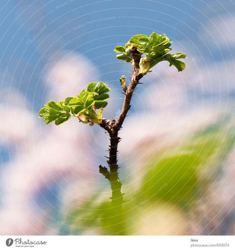 Sky Nature Blue Green White Leaf Environment Bushes Growth Wild plant Dog rose