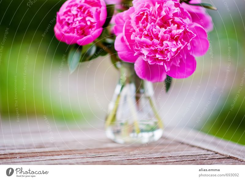 peonies Peony Flower Bouquet Blossom Pink Blossoming Spring Vase Garden Decoration trendy Nature