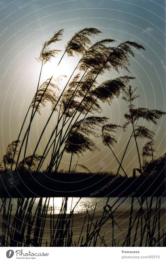 Water Sun Relaxation Grass Lake Coast Wind Common Reed Peaceful