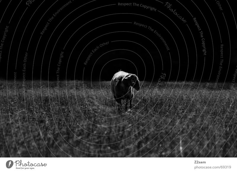 black sheep Sheep Meadow Dark Grass Stand Loneliness Animal Light Pasture Nature Shadow