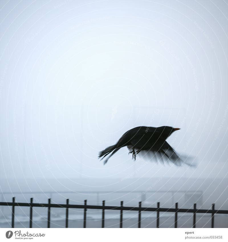 overcoming Animal Bird Wing Crow Blackbird 1 Fence Fog Movement Flying Dark Free Infinity Cold Hope Longing Beginning Loneliness Freedom Ease Border Conquer