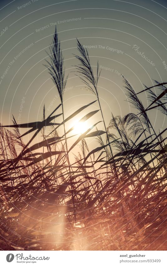 Reed in the Sun Environment Nature Plant Grass Foliage plant Yellow Gold Spring fever Willpower Warm-heartedness Colour photo Exterior shot Day Light Contrast