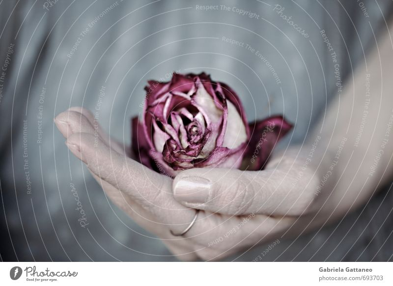 Old Flower Pink Rose To hold on Dry Catch Safety (feeling of) Limp Withered