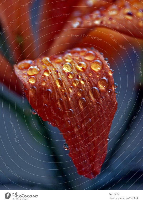 Nature Blue Flower Leaf Blossom Rain Orange Drops of water Wet Dry Blossom leave Tongue Lily