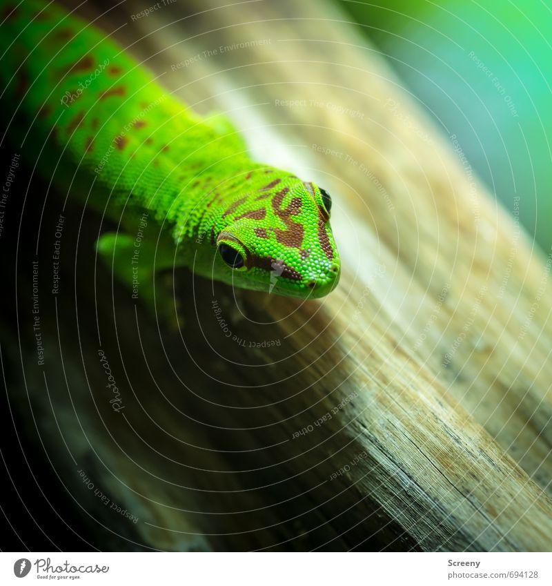 Whazzup? Nature Animal Terrarium Day gecko Gecko 1 Lie Looking Wait Elegant Exotic Brown Green Serene Patient Calm Life Curiosity Pattern Wood Colour photo