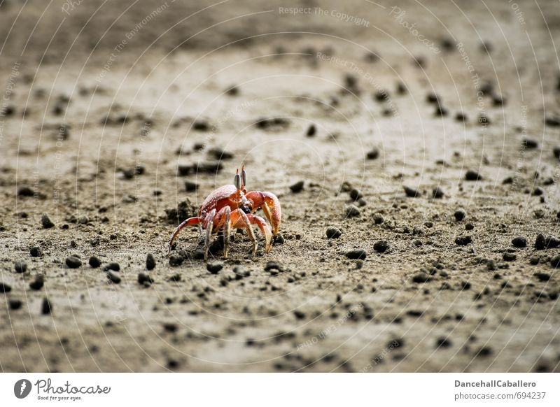 loner l beach walk Vacation & Travel Beach Ocean Sand Coast Animal Shrimp Crustacean 1 Maritime Red Loneliness Nature Individual Shellfish Claw Beach life
