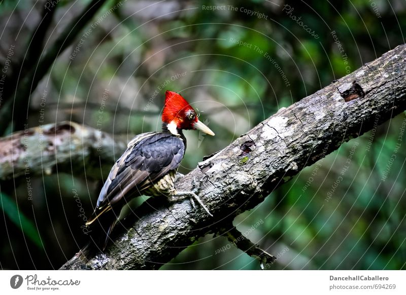 woodpecker Nature Animal Tree Forest Virgin forest Costa Rica Central America South America Wild animal Bird Woodpecker 1 Sit Free Historic Uniqueness Red Black