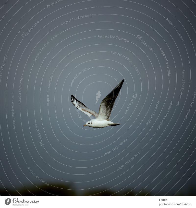 Sky Nature White Animal Black Gray Above Flying Bird Wild animal Wing Seagull Black-headed gull
