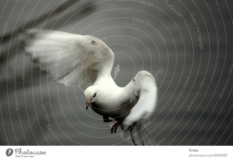 .. to motion .. Nature Animal Wild animal Pigeon Wing 1 Movement Flying Cute Gray White Peaceful white bird white dove flapping one's wings Colour photo