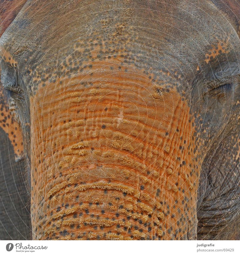 pachyderms Calm Large Gray Serene Fatigue Colour Elephant Mammal Trunk Sensitive Heavy Wrinkles Asia good-natured Character Orange Hide Brown Eyes Animal face
