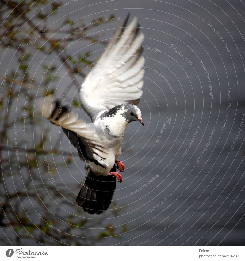 ... like an angel ... Nature Animal Water Wild animal Pigeon Wing 1 Flying Gray Red Black White Peaceful Bird Flight of the birds Colour photo Exterior shot