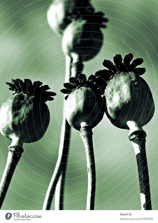 Nature Flower Green Plant Summer Garden Moody Art Thin Delicate Stalk Poppy Seed Harmonious Shriveled Hoar frost