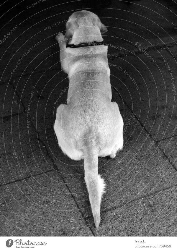 Animal Dog Line Wait Back Arrangement Lie Asphalt Gastronomy Sidewalk Boredom Mammal Tails Nerviness Labrador Exasperated