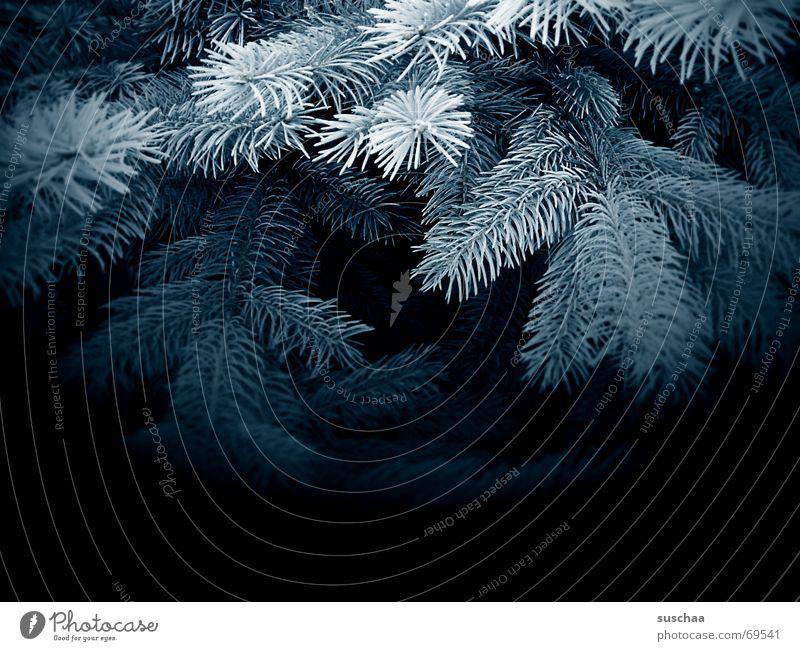 in the dark, blue fir forest Fir tree Coniferous forest Dark Fir branch blue spruce Blue Fir needle Winter Decoration