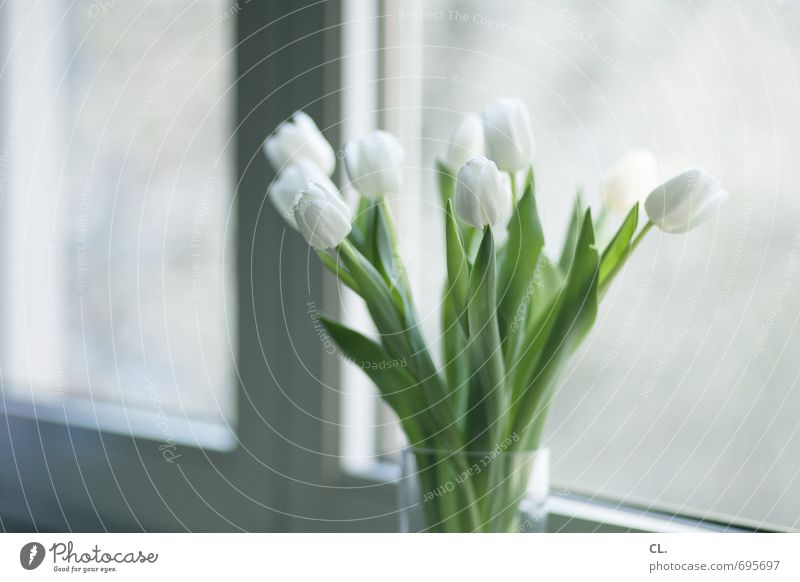 tulips always go Living or residing Flat (apartment) Decoration Room Flower Tulip Leaf Blossom Window Blossoming Bright Beautiful White Joie de vivre (Vitality)