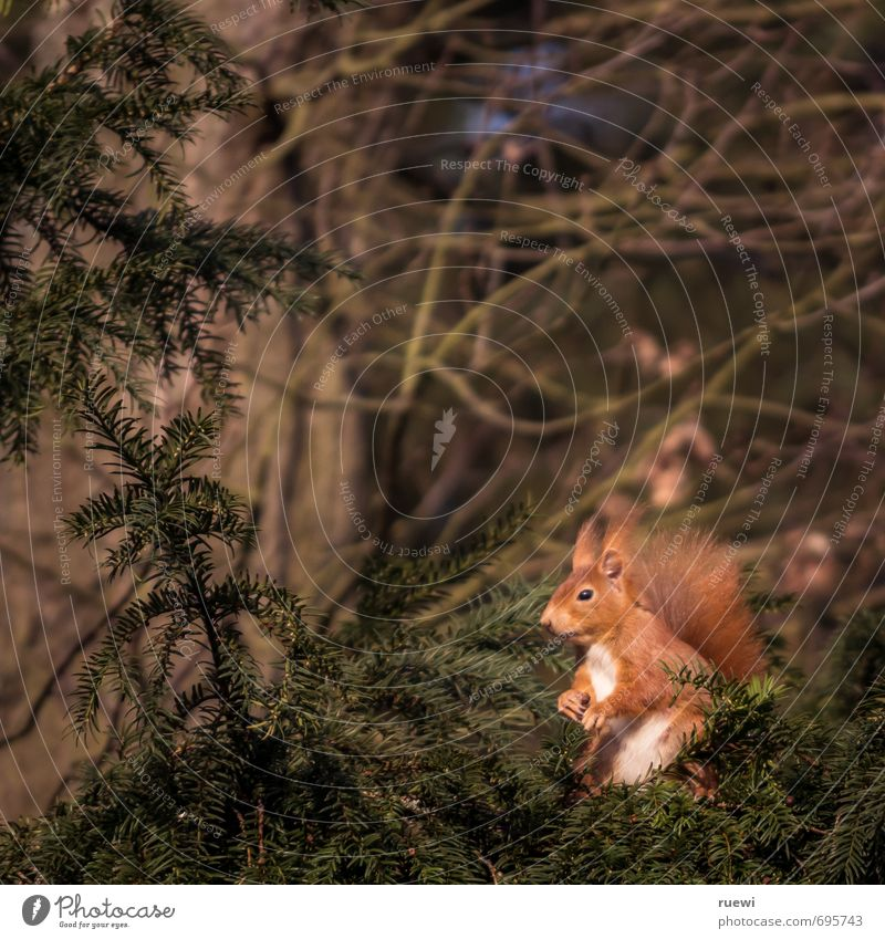 Harrying croissant Environment Nature Animal Spring Summer Tree Wild animal Squirrel 1 Wood Observe Sit Stand Wait Small Curiosity Cute Brown Green Red Calm