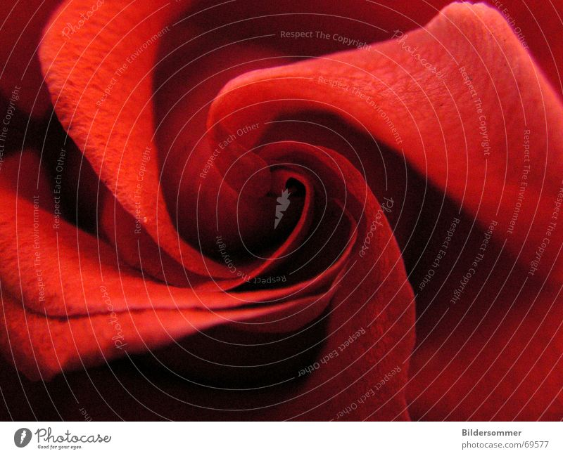 rose Rose Red Romance Flower Blossom romantic Macro (Extreme close-up) Valentine's Day