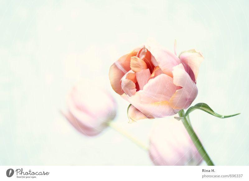 Flower Art Pink Esthetic Blossoming Stalk Tulip Pastel tone Shallow depth of field Colour