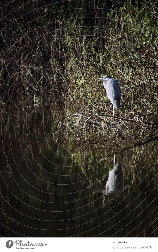 Guardians of the North Animal Bushes Lakeside Wild animal Bird Heron Grey heron 1 Patient Nature Calm Colour photo Exterior shot Copy Space left Copy Space top