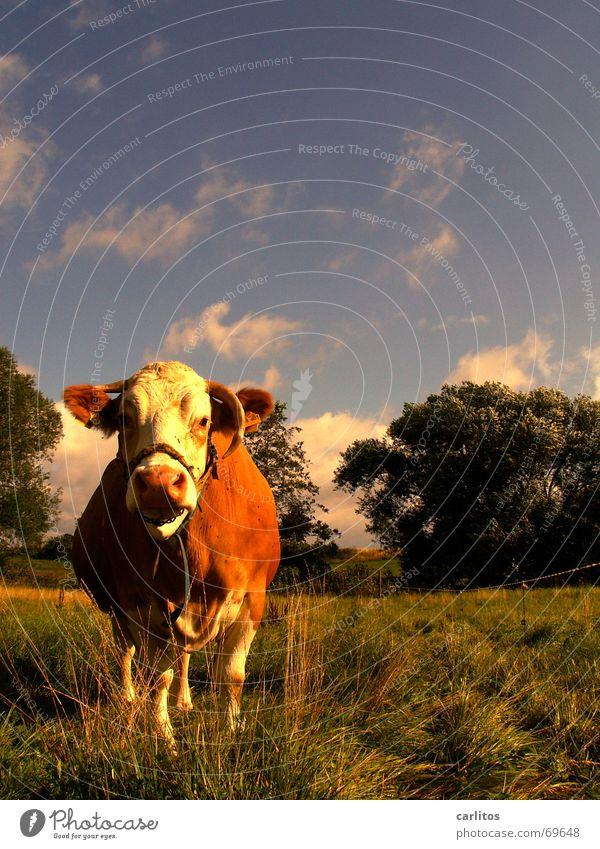 Animal Cow Stupid Smart Cattle Steak Small sausage Battle Slaughterhouse Milk quota