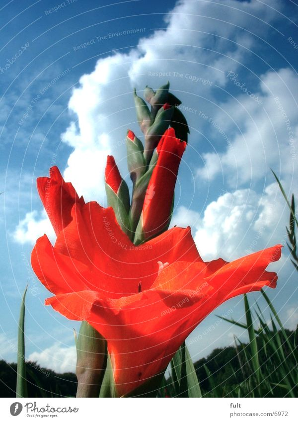 Sky Flower Red Stalk