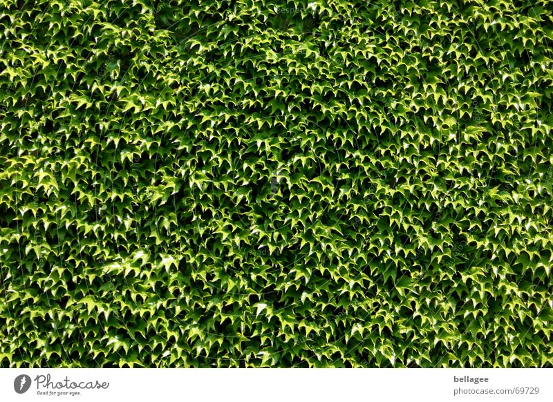 Nature Green Leaf Wall (building) Wall (barrier) Multiple Vine Many Smoothness Hedge Ivy