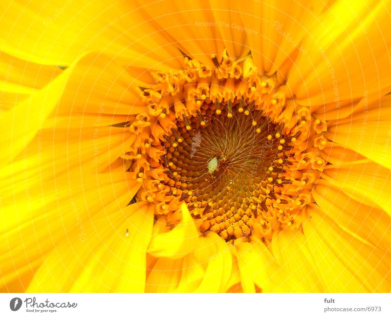 Plant Yellow Sunflower