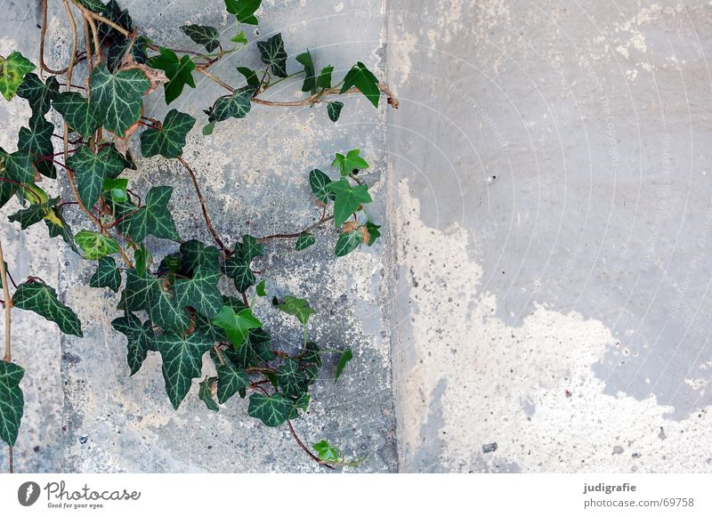 Old Green Plant Leaf Colour Wall (building) Wall (barrier) Romance Plaster Ivy Creeper Evergreen plants Aralia family