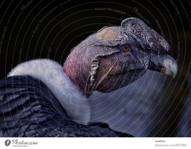 White Animal Gray Pink Bird Animal face Vulture