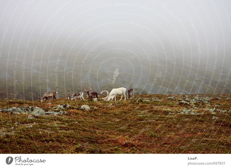 Nature Landscape Animal Environment Mountain Autumn Grass Earth Fog Hiking Europe Group of animals To feed Moss Antlers Autumnal
