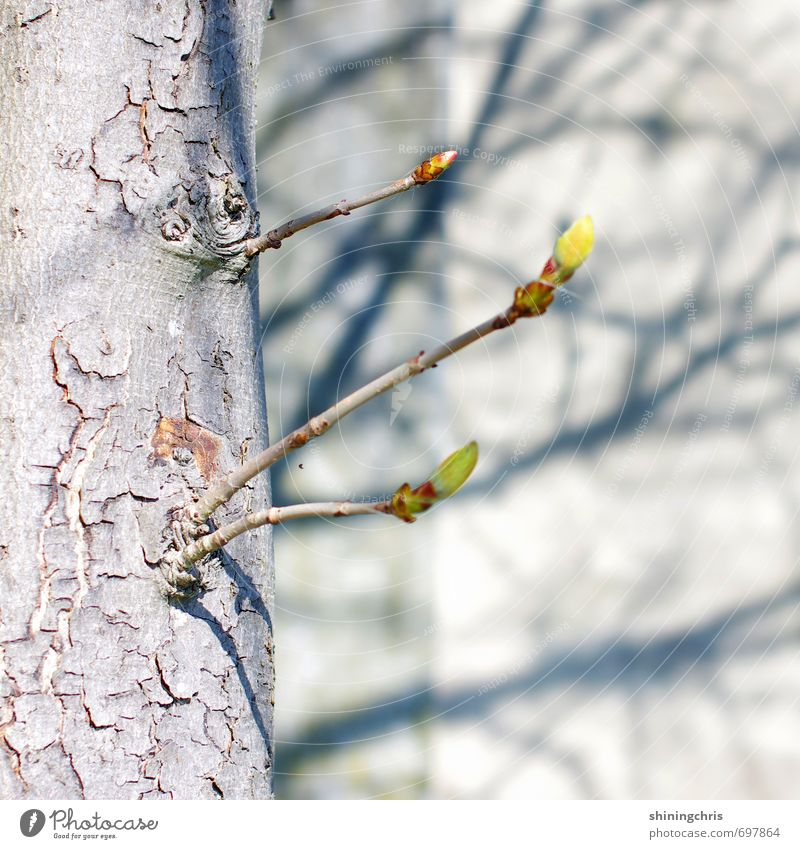 branches Environment Nature Beautiful weather Tree Bud Chestnut tree Garden Wall (barrier) Wall (building) Blossoming Yellow Gray Green Shadow Shadow play