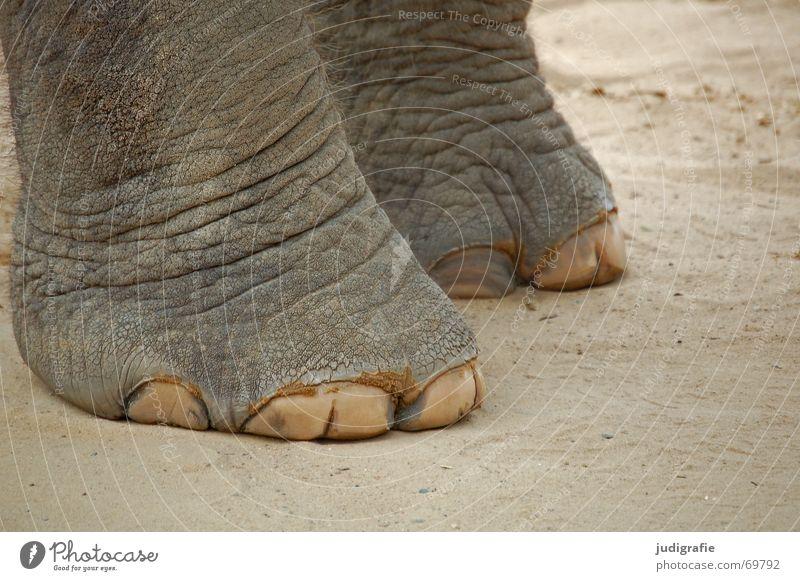 down-to-earth Elephant Animal Mammal Large Heavy Wrinkles Gray Crack & Rip & Tear Cute Asia Feet Skin Floor covering Sand Rough