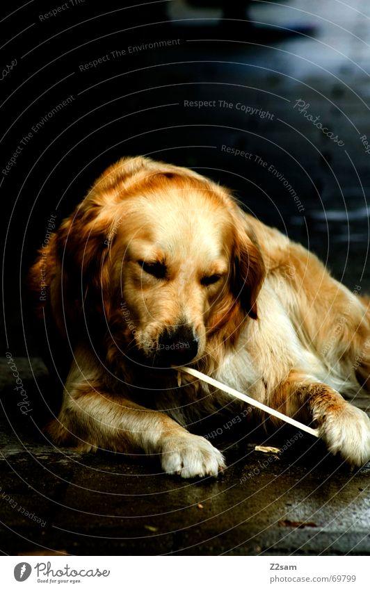 Animal Playing Dog Gold Sweet Lie Pelt Friendliness Stick Paw Golden Retriever