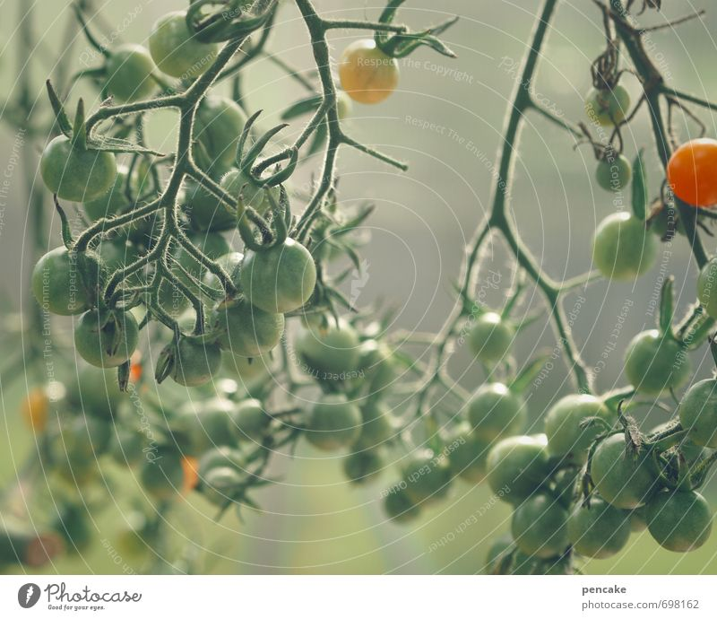 Nature Green Summer Red Yellow Garden Food Food photograph Fruit To enjoy Nutrition Good Fragrance Organic produce Damp Tomato