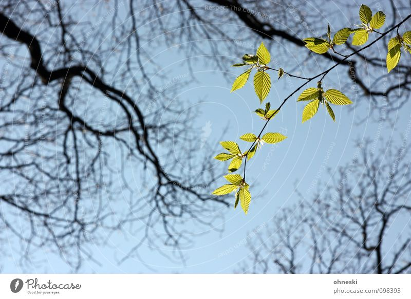 glimmer of hope Animal Sky Spring Tree Leaf Branch Twigs and branches Beech tree Green Optimism Life Hope Colour photo Exterior shot Copy Space bottom Day