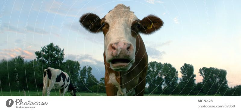 Sky Meadow Field Large Ear Cow Animal Panorama (Format) Snout