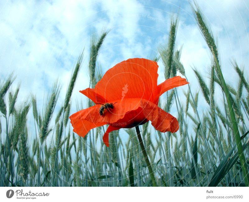 Poppy with bee Bee Field Wheat Sky