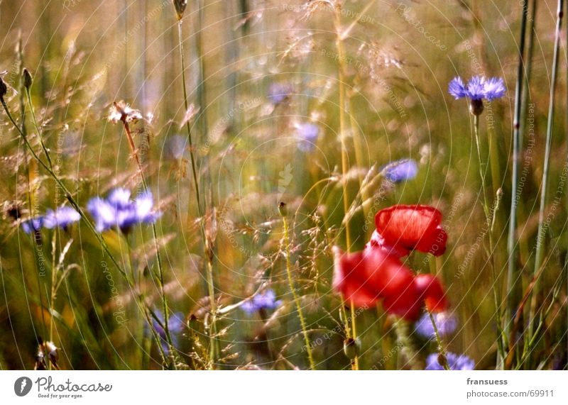 Green Blue Plant Red Summer Meadow Grass Freedom Poppy