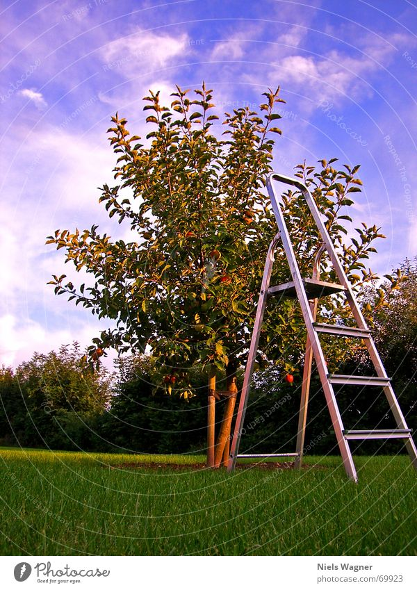 Sky Tree Clouds Nutrition Work and employment Wood Lawn Apple Harvest Tree trunk Ladder Aluminium Footstep