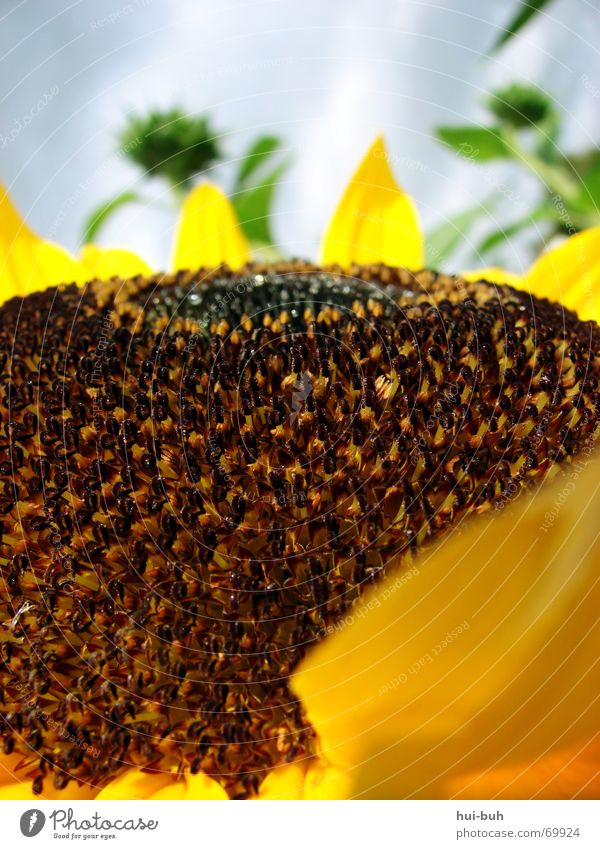 sun-roofed hills Flower Sunflower Hill Large Brown Blossom Bee Green Plant Living thing Long Strong Clouds Pistil Nature Sky Upward resonant clinking Root