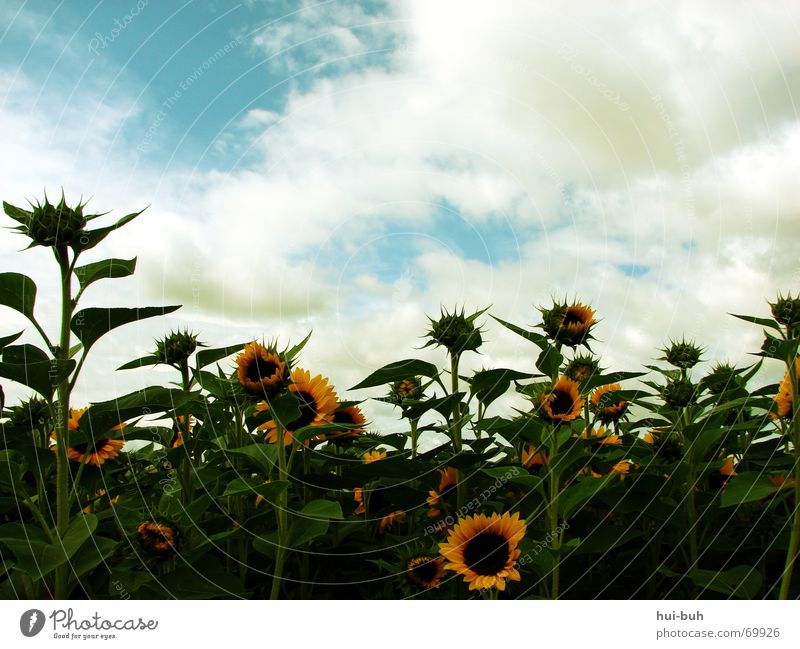 family joy Sunflower Flower Plant Clouds Green Leaf green Yellow Brown Feed To feed Stamen Bee Blossom Living thing Environment Ecological Summer Spring Autumn