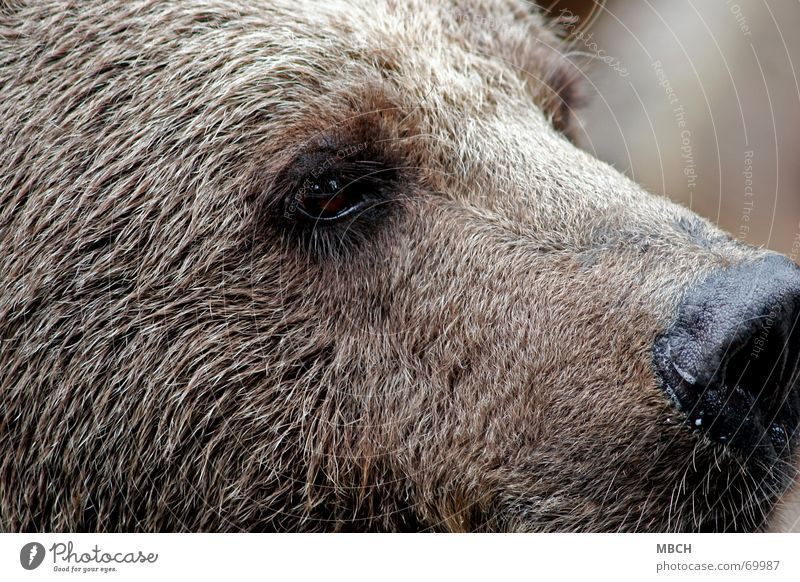 instant Brown bear Pelt Watchfulness Animal Dangerous Large Teddy bear Whisker Beard hair Eyes Nose inspect Looking Wild animal