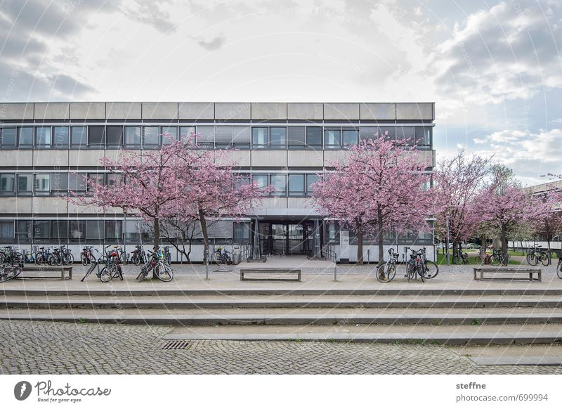 Girl photo with masculine touch Tree Goettingen Town Beautiful University of Goettingen theologicum Ornamental cherry Cherry blossom Colour photo Copy Space top